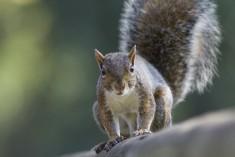 L'invasore scoiattolo grigio è arrivato
