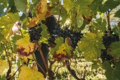 """Vendemmia – Caldo e siccità """"seccano""""  l'uva: poco vino ma da intenditori"""