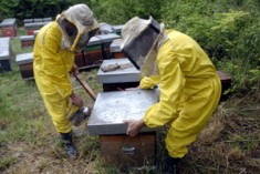 Aiuto, le api stanno scomparendo!