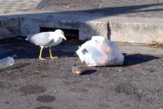 I gabbiani si spostano dal mare alla città. È tutto normale…