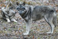 Roncofreddo, ora i lupi fanno paura