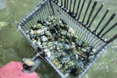 Moria di vongole: perché non pescarle?